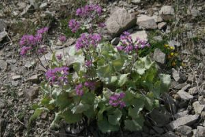 fleurs de montagnes mauves pousant dans les pierres
